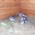 Sobald es möglich ist, werden Kaninchen und Meerschweinchen NICHT in Käfigen gehalten.